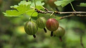在分支的鹅莓果子在庭院里 影视素材