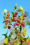 在分支的鹅莓 库存图片