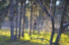 在分支的黑樱桃莓果 免版税库存图片