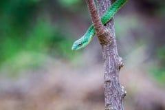 在分支的绿眼镜蛇 免版税库存图片