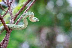 在分支的绿眼镜蛇 免版税库存照片