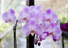 在分支的紫色兰花 免版税库存照片