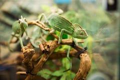 在分支的绿色变色蜥蜴 库存图片