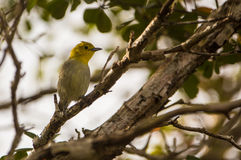 在分支的黄色带头的鸣鸟 库存图片