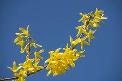 在分支的黄色开花 库存图片