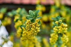 在分支的黄色花 库存图片