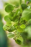 在分支的绿色莓果 库存照片