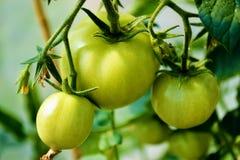 在分支的绿色蕃茄 免版税图库摄影
