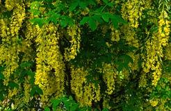 在分支的黄色金合欢花 背景蓝色云彩调遣草绿色本质天空空白小束 免版税库存图片