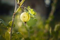 在分支的绿色鹅莓 免版税库存图片