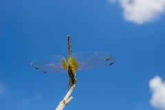 在分支的黄色蜻蜓在与云彩的蓝天背景中 库存照片