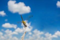 在分支的黄色蜻蜓在蓝天 库存图片
