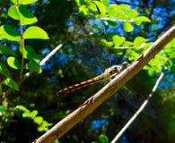 在分支的黄色蜻蜓 库存照片