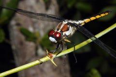 在分支的蜻蜓 免版税图库摄影