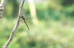 在分支的蜻蜓 库存图片
