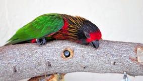 在分支的Lorikeet鸟在鸟舍,佛罗里达 图库摄影