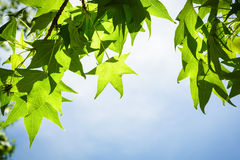 在分支的Sweetgum叶子反对蓝天 免版税库存图片