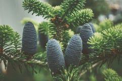 在分支背景的美丽的年轻杉木锥体  它` s春天 定调子 图库摄影