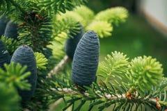 在分支背景的美丽的年轻杉木锥体  抽象空白背景圣诞节黑暗的装饰设计模式红色的星形 定调子 免版税图库摄影