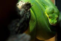 在分支附近被盘绕的绿色Python的宏观图象 库存照片