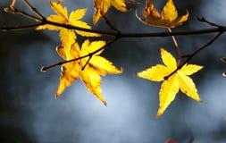 在分支,京都日本的部分的明亮的秋叶 库存照片