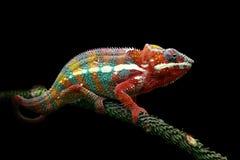 在分支,变色蜥蜴的变色蜥蜴豹 免版税图库摄影