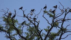 在分支,飞行群,掠夺人群的乌鸦在树,黑鸟的,关闭  股票录像