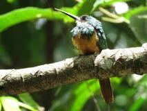 在分支-末多Atlantica- Paraty的一只蜂鸟 免版税图库摄影