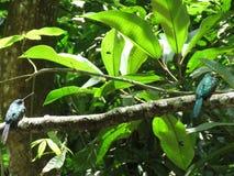 在分支-末多Atlantica- Paraty的一只蜂鸟 库存图片