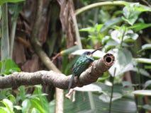 在分支-末多Atlantica- Paraty的一只蜂鸟 库存照片