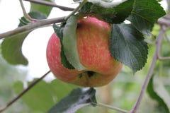 在分支20502的红色成熟苹果 免版税库存照片