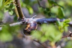 在分支2的蜗牛 库存照片