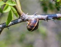 在分支1的蜗牛 免版税库存照片