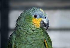 在分支画象的绿色parron 免版税库存照片