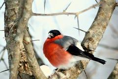 在分支(Pyrrhula pyrrhula)的红腹灰雀 库存照片