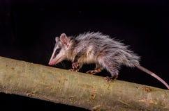 在分支zarigueya的安地斯山的白色有耳的负鼠 免版税库存照片