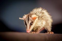 在分支zarigueya的安地斯山的白色有耳的负鼠 库存照片