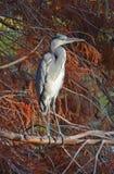 在分行栖息的苍鹭在日落 图库摄影