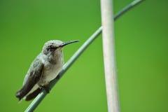 在分行栖息的蜂鸟 图库摄影