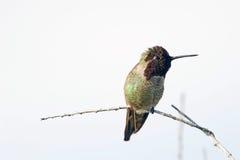 在分行栖息的蜂鸟 库存图片