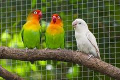 在分行的三只爱情鸟鸟 库存照片