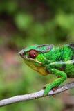 在分行的变色蜥蜴 库存图片