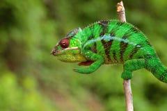 在分行的变色蜥蜴 免版税图库摄影
