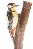 在分行的啄木鸟 免版税库存照片