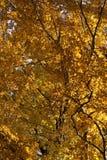 在分行的秋叶 库存照片
