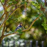 在分行的蓝色鸟 免版税图库摄影