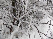 在分行的雪 背景美丽的森林 33c 1月横向俄国温度ural冬天 免版税库存照片