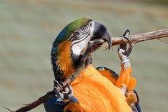 在分行的青和金子金刚鹦鹉 免版税库存图片