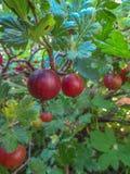 在分行的鹅莓 库存照片