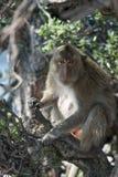 在分行的猴子 免版税库存照片